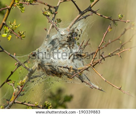 Caterpillar larvae and nest of Brown-tail Moth - stock photo