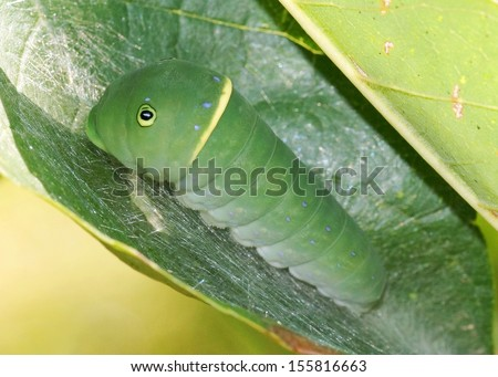 Caterpillar of the Eastern Tiger Swallowtail, Papilio glaucus, using camouflage and mimicry - stock photo