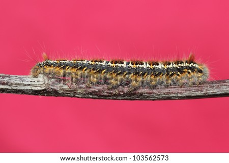 caterpillar on a branch against a red background - stock photo