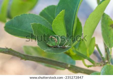 Caterpillar on a leaf - stock photo