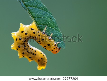 Caterpillar on the green leaf - stock photo