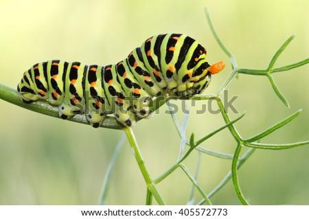 Caterpillar Papilio Machaon - stock photo