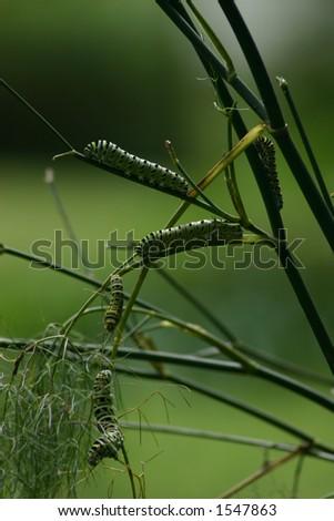 Caterpillars - stock photo