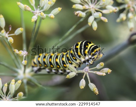 Caterpillars are the larval form of members of the order Lepidoptera - stock photo