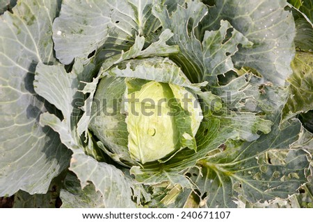 Caterpillars ate cabbage leaves, one fresh vegetable head grow in field in Poland, Europe, horizontal orientation, nobody. - stock photo