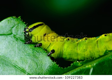 Caterpillars eating the leaves. - stock photo