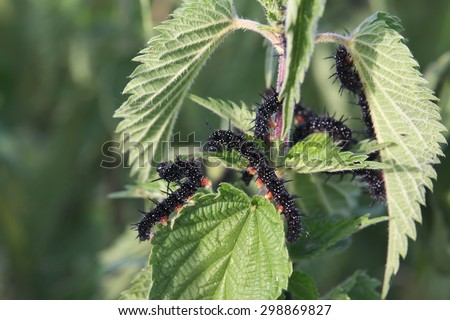 Caterpillars of the peacock butterfly (Aglais io) eating stinging nettle (Urtica dioica) leaves. - stock photo