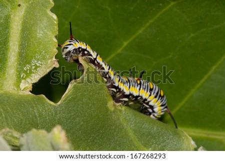 Caterpillars on milkweed leaves - stock photo