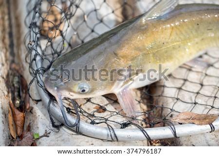 Catfish in Net - stock photo