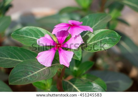 Catharanthus Roseus, Commonly known as the Madagascar Periwinkle in a garden - stock photo