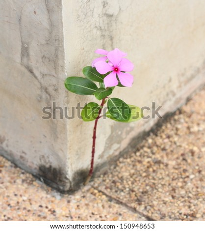 Catharanthus roseus Flower grows on concrete floor - stock photo