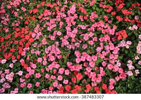 Catharanthus roseus in the garden - stock photo