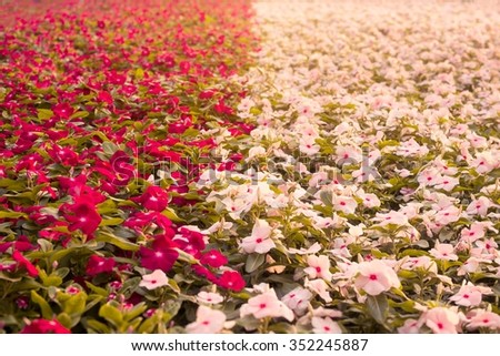 Catharanthus roseus or Periwinkle or Madagascar rosy periwinkle or Cape periwinkle or rose periwinkle or rosy periwinkle or and Old-maid flower - stock photo