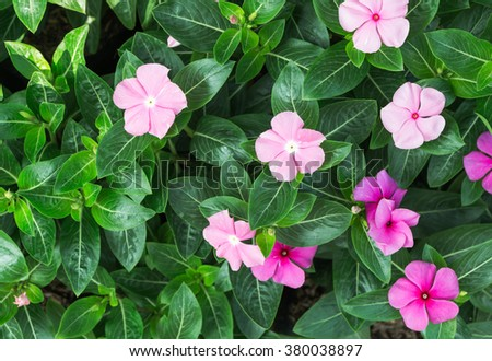 Catharanthus roseus pink flower on top view - stock photo