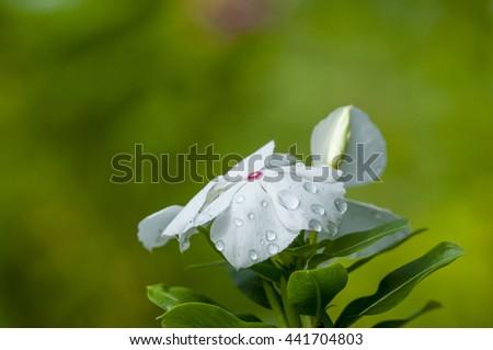 Catharanthus roseus white bloom naturally beautiful . - stock photo