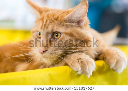 Cats and dogs: relaxed red-white tabby Maine Coon cat, close-up portrait, selective focus, natural blurred background - stock photo