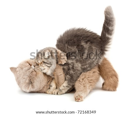Cats kissing  each other's arms on a white background - stock photo