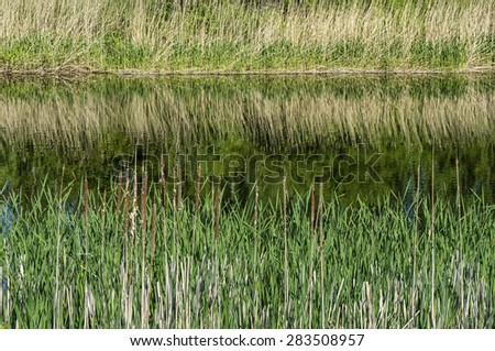Cattails and reeds on the riverbank - stock photo