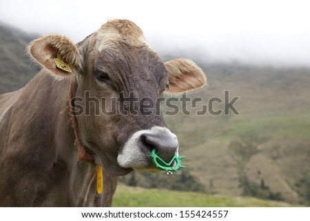 Cattle (Bos taurus) with nose piercings, italian Alps. - stock photo