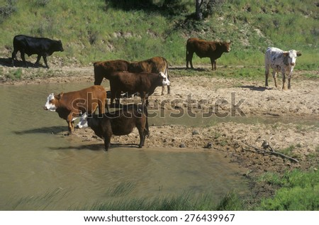 Cattle drinking out of stream, Central CA - stock photo