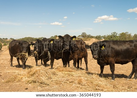 cattle eating hay during a dry summer - stock photo