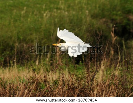 Cattle egret, (Bubulcus ibis), in the Florida Everglades - stock photo