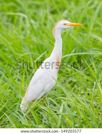Cattle egret (Bubulcus ibis) in the grass - stock photo
