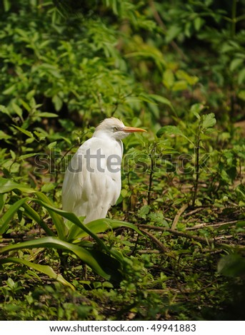 Cattle egret commonly seen in the Florida Everglades - stock photo