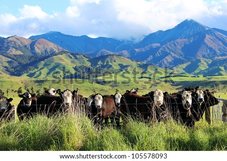 Cattle enjoying the lush green pastures of New Zealand's country side - stock photo