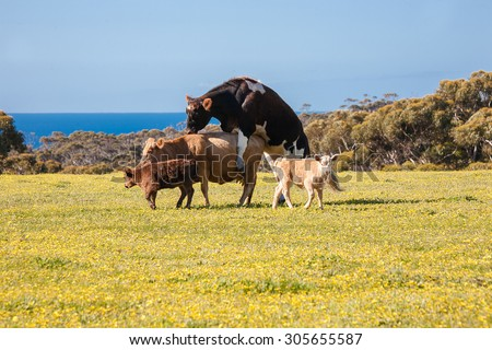 Cattle family on a farm, big cattle mating - stock photo