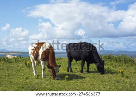 cattle feeding near cliffs on the wild atlantic way in ballybunion county kerry ireland - stock photo
