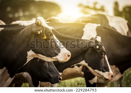 Cattle grazing in a field with the sun rising in the background. - stock photo