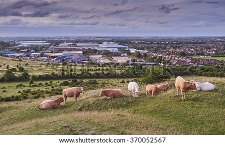 Cattle grazing in Dunstable Blows Downs - stock photo