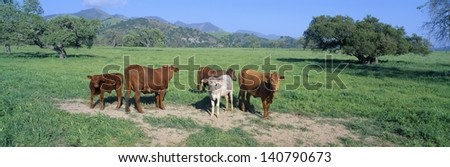 Cattle grazing on a pasture in Santa Ynez Valley, California - stock photo