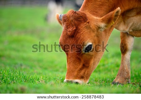 Cattle grazing. Pyeongchang Daegwallyeong Pasture in south korea. - stock photo