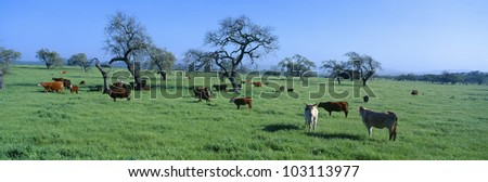 Cattle grazing, Santa Ynez Valley, California - stock photo