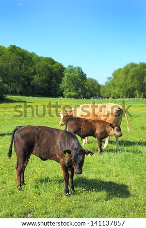 Cattle in a meadow on a summer's morning - stock photo