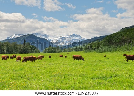 Cattle in a pasture in the foothills of Alberta, Canada - stock photo
