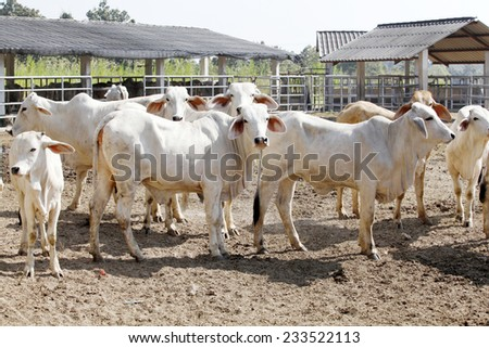 cattle in farm - stock photo