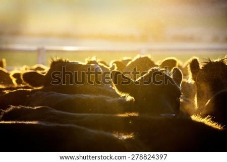 Cattle in morning light - stock photo