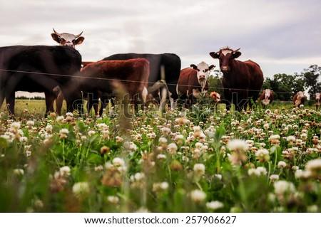 Cattle in the countryside near Juan Lacaze, Colonia, Uruguay - stock photo