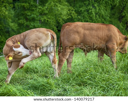 Cattle on a green meadow enjoys the day - stock photo