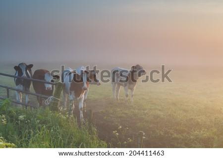 cattle on misty pasture during sunrise - stock photo