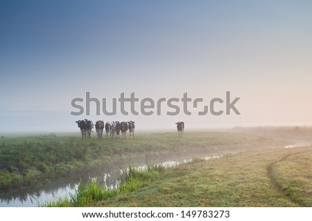 cattle on morning pasture in fog during sunrise - stock photo