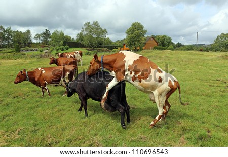 Cattle on the Meadow in Norway - stock photo