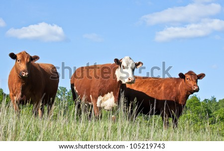 Cattle trio - one red hereford and two red angus cows standing on a hillside - stock photo