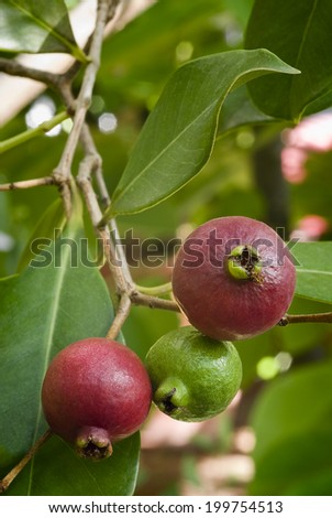 Cattley guava (Psidium littorale subsp. longipes) or Peruvian guava or Strawberry guava or Psidium cattleianum or Psidium chinense or Psidium coriaceum or Psidium humile. rare esotic fruit. - stock photo