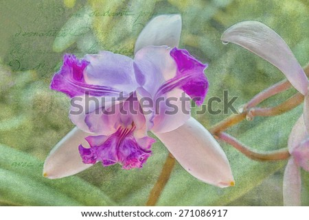 Cattlyea orchid,digital oil painting against textured background - stock photo