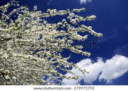 Caucasian plum white blossom and blue sky background. Lithuania. - stock photo