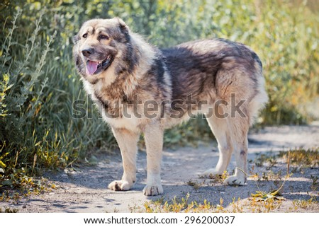 Caucasian shepherd dog outdoor exterior portrait - stock photo